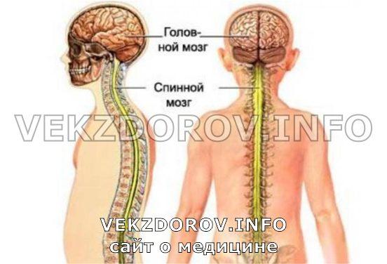 спинной и головной мозги