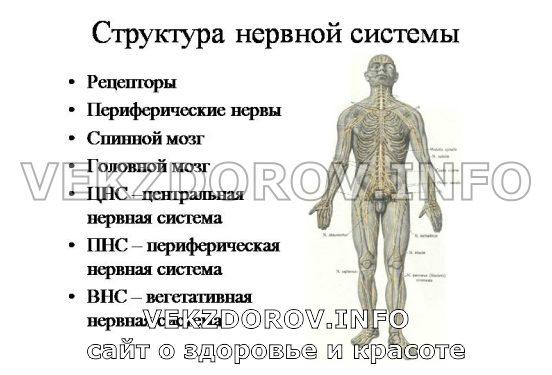структура нервной системы человека