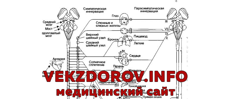 Дисфункция вегетативной нервной системы, или признаки вегетативной дистонии