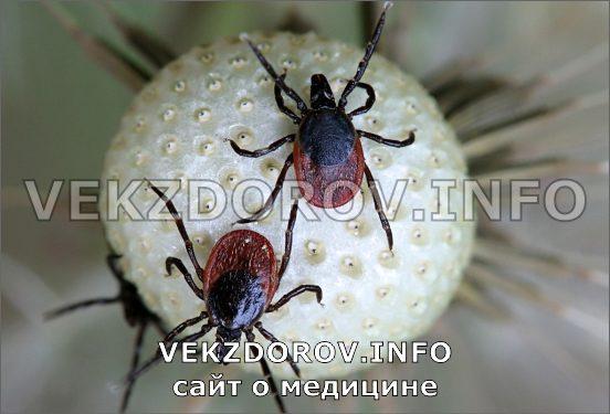 опасное насекомое клещ