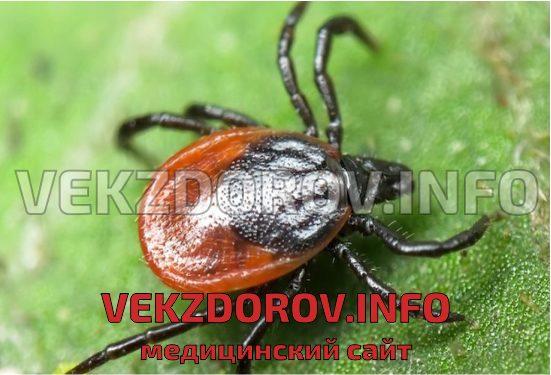 опасное насекомое - клещ